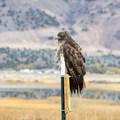 Many hawks can be seen around Summer Lake.- Summer Lake