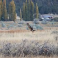 Hawk taking flight at Summer Lake. - Summer Lake