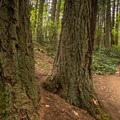 A jogger and her dog passing by some big Douglas fir trees at Mount Douglas Park.- Mount Douglas Park