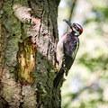 A hairy woodpecker hard at work.- Mount Douglas Park