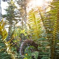 Light glitters through a fern.- Rim Trail