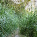 A small section of the trail is overgrown with pampas grass.- Rim Trail