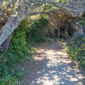 The trail heads back through the tree tunnel.- Patrick's Point