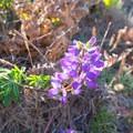 A beautiful wildflower found along the trail.- Wedding Rock