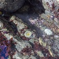A sea anemone sits in one of the tide pools.- Wedding Rock Coastal Access