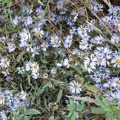 Wild daisies growing along the trail.- Rocky Point