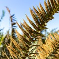 Many spores cling to the underside of a fern.- Rocky Point