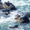 Several harbor seals rest on rocks in the wave zone.- Rocky Point