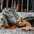 Iguana catching some rays by the water- Vizcaya Museum + Gardens