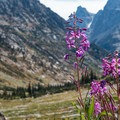 Fireweed.- Teton Crest Trail