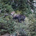 Bull Moose in lower Paintbrush Canyon.- Teton Crest Trail