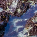 A kelp covered tide pool offers places to hide.- Palmer's Point + Coastal Access