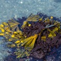 A rock is covered with different species of seaweed.- Palmer's Point + Coastal Access