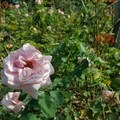 The rose garden, first opened in 1924, houses over a thousand varieties of roses.- Brooklyn Botanic Garden