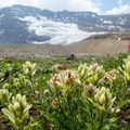 More wildflowers along the Iceline Trail.- Iceline Trail