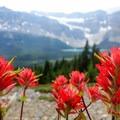 Indian paintbrush.- Dolomite Pass