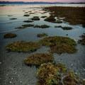 Seagrass at Rathtrevor Beach.- Rathtrevor Beach