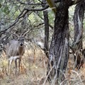 Mule Deer can be spotted along the trail.- South Rim Loop
