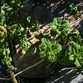 Wild mint grows around the hot spring.- Eagleville Hot Springs