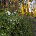 Snowberries (Symphoricarpos) at A.M. Kennedy Park.- A.M. Kennedy Park