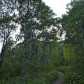 Aspen groves line the trail.- Bear's Hump