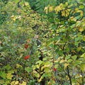 Foliage beginning to turn color in early autumn.- Bear's Hump