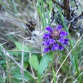 Vibrant violet flower growing in the meadow.- Ceremonial Rock