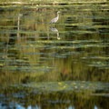 A great blue heron at Witty's Lagoon.- Witty's Lagoon