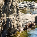A family of otters playing in the crystal clear water.- Sooke Potholes