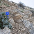 Desert blue bells (Phacelia campanularia) along the Ryan Mountain Trail.- Ryan Mountain Hike