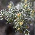 Unidentified species (help us identify it by providing feedback).- Ryan Mountain Hike