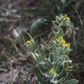 Birstly fiddleneck (Amsinckia tessellata) along the Ryan Mountain Trail.- Ryan Mountain Hike