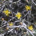 Blackbrush (Coleogyne ramosisssima) along the Ryan Mountain Trail.- Ryan Mountain Hike