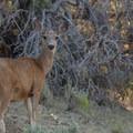 Black-tailed deer (Odocoileus hemionus columbianus)- Pinery Campground + Day Use Area