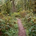 Trail to Soda Creek Falls.- Soda Creek Falls Trail