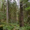 The trail winds through the lush forest of the Willamette Valley.- Soda Creek Falls Trail