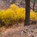 Fall color along Vivian Creek.- San Gorgonio Mountain via Vivian Creek