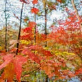 Red leaves bursting with color along the Gold Branch Trail.- Gold Branch Trail