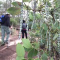 Silk tassel bush along the trail.- Wright Peak Summit Trail