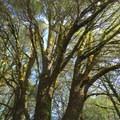An oak woodland provides brief shade.- Wright Peak Summit Trail