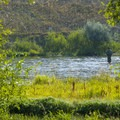 Fly fishing on the Weber River just below Wanship Dam at Riverside/Old Church Campground.- Riverside/Old Church Campground