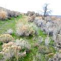Sage bush on the Bench Trail.- Cowiche Mountain Trail