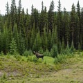 Bull Moose at the trailhead.- Lake Magog, Marvel Pass + Owl Lake Loop