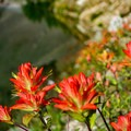 Indian paintbrush in bloom.- Devils Thumb