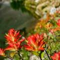 Indian paintbrush in bloom.- Devil's Thumb