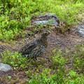 Ptarmigans live among the rocks up here.- Devil's Thumb