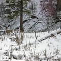 Mule deer by the trail.- Beaver Ponds Loop