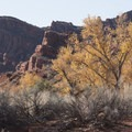The cottowoods still had color in late autumn.- Anasazi Trail to Red Reef East Loop