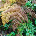 Ferns abound along the trail.- Blacklock Point Hike