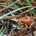 Northern red legged frog (Rana aurora).- Blacklock Point Hike